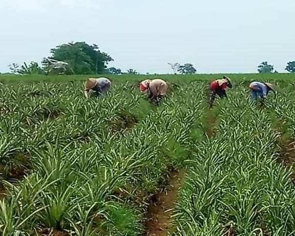 GBN Tanam Nanas 600 Hektar